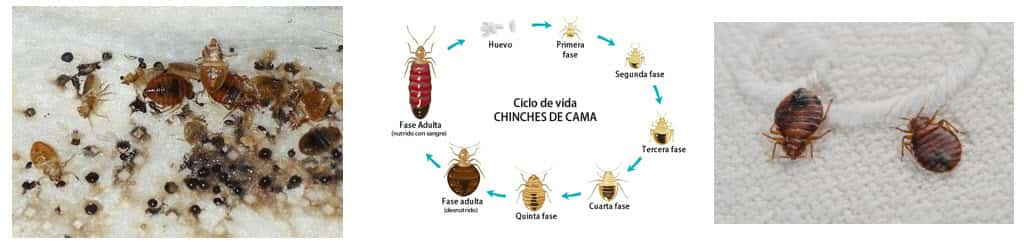 Chinches de las camas